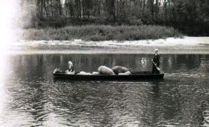 prijevoz svinja