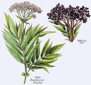 abdovina-sambucus-ebulus-l